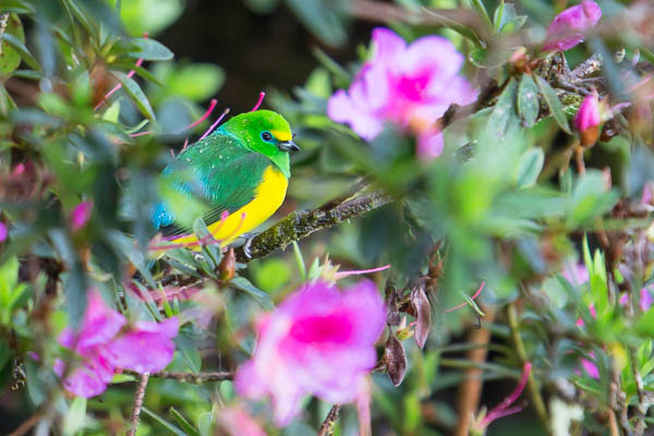 Blue-naped Chlorophonia. Photo: Chris Fischer Photography