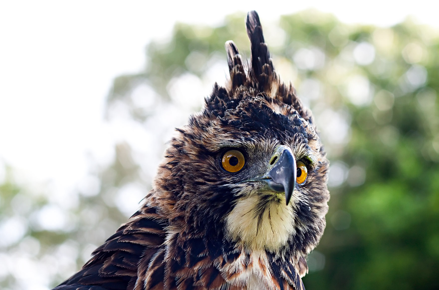 Ornate Hawk-Eagle. Photo credit: Santiago Restrepo Calle (Flickr / CC BY-NC-ND 2.0)